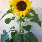 Sonnenblume_foto